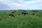 Slashing pastoral stock numbers by up to 35 per cent has been suggested among ways to push New Zealand's greenhouse gas emissions down to zero by 2100. Photo / File