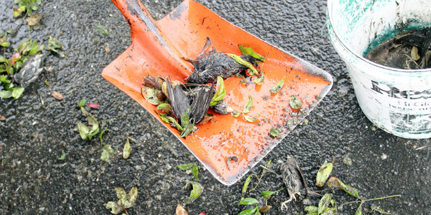 Dead sparrows littered the Warehouse carpark on Wednesday.