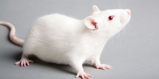 An Israeli firm is training mice to detect explosives. Photo / 123RF