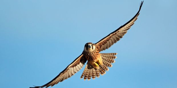 Falcons can be used to protect aircraft from bird strike. Photo / 123RF