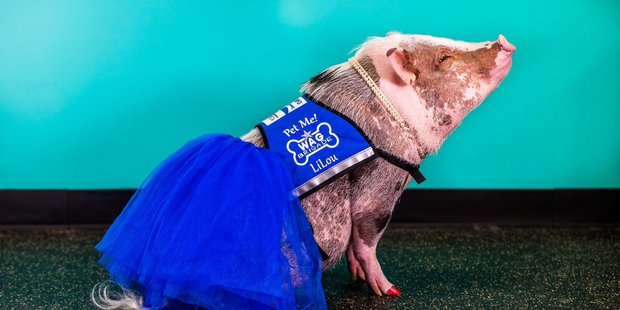 Lilou the pig works as a therapy animal at San Francisco Airport. Photo / @FlySFO, Twitter