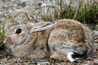 There has been an upsurge in rabbit numbers, including in Central Otago. Photo / ODT File