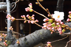 A cherry flower blooms on a monitoring tree at Yasukuni Shrine in Tokyo. Photo / AP