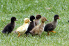 Ducks have been dumped at McLaren Falls (these are not them). Photo/file