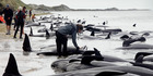 Dozens of whales died at the mass stranding on Farewell Spit in February. About 45 per cent of stranded whales are successfully refloated, Department of Conservation figures show. Photo/Tim Cuff