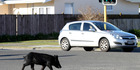 In 2015 Hawke's Bay Today captured images of a pig wandering through Taradale - days before it was allegedly killed at  Napier pound. PHOTO/FILE