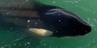 Watch: Watch: Rare orca sightings near Lyttelton Harbour