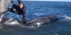 Watch: Watch: Whale freed from fishing line