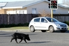 ON THE RUN: Hawke's Bay Today captured this image of a pig wandering through Taradale - days before it was allegedly killed at Napier pound in 2015. PHOTO/FILE