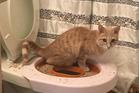 Daniel Freudberg's cat, Kal, while on stage two of his toilet-training. Photo / Daniel Freudberg