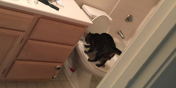 Fuzz, the cat that lived with Daniel Freudberg for a year, convinced him that toilet-training cats was the way to go. Photo / Daniel Freudberg