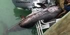 Watch: Watch: Addicted To Fishing - Huge swordfish