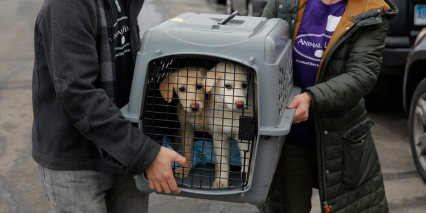 A crate holding two puppies rescued from a South Korean dog meat farm are loaded onto an animal transport vehicle near Kennedy Airport. Photo / AP