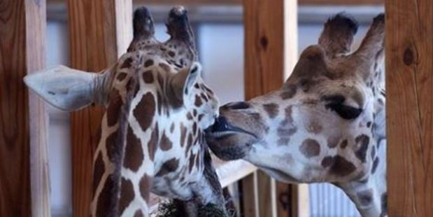 "April, left, is keeping up her appetite while ""boyfriend"" Oliver steals a kiss. Photo / Facebook, Animal Adventure Park"