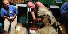Watch: Listen: Sir David Fagan on the New Zealand Shearing Championships