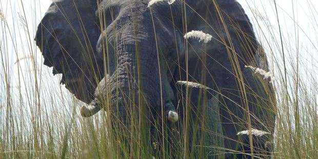 The news will foster hope for an eventual end to the elephant poaching crisis in Africa. Photo / AP