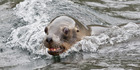 A rare sea lion has been found dead in a squid fishing trawl net. Picture / File