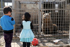 A starving bear is seen in its cage at ruined Muntazr al-Nour zoo in Mosul, Iraq last month. The zoo is where Simba the lion and Lula the bear are. Photo / Getty Images