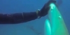 Watch: Watch: Shark appears to ask diver for help