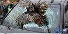 Watch: Watch: Turkey crashes through car windshield