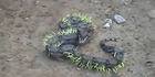 Watch: Watch: Snake gets pierced after attacking a porcupine