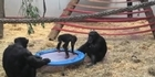 Watch: Watch: Chimpanzees jumping on a trampoline