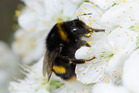 For our hard-working bumblebees, it seems being smart comes at a cost. Photo / Plant & Food Research