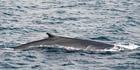 An Antarctic blue whale breaches the sea surface. Photo / Dave Allen