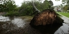 Watch: WATCH: Uprooted tree in Rosewood park