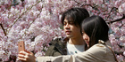 A couple takes a selfie under the blooming cherry blossoms in Tokyo. Photo / AP