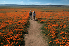 Visitors walk among the poppy bloom at Antelope Valley California Poppy Reserve in Lancaster, California. Photo / AP
