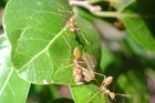 Yellow crazy ants is an invasive species that destroys crops and blinds livestock. Photo / AAP
