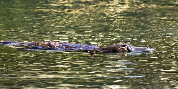 Platypuses decapitated in 'despicable' Australia killings