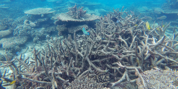 In this November 2016 photo provided by ARC Centre of Excellence for Coral Reef Studies, dead staghorn coral killed by bleaching appears drab on the northern Great Barrier Reef, Australia. Photo / AP
