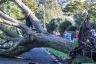 An upturned tree in Macdonald St, Napier. Photo / Paul Taylor