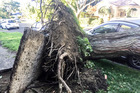 Winds from Cyclone Cook uprooted a tree which landed atop car on Macdonald St in Napier, Hawke's Bay. Photo/Paul Taylor