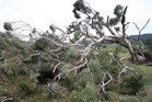 A large gum tree fell in the strong winds and closed Alley Rd near Te Puke. Photo / John Borren