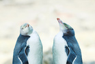 The yellow-eyed penguin, or hoiho, are among our threatened aquatic birds. Photo/NZME