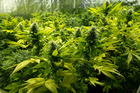 While the role of cannabis oil in medical treatment has been recognised, and it was partly legalised, the proper channels to obtain it had been proscribed, a court has said. Photo/File
