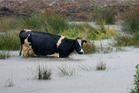The wet weather, which caused flooding in some areas, could hit next season's dairy production. Photo / file