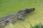 The story of an alligator killing a New Zealand woman is unlikely to be true. Photo/NZME