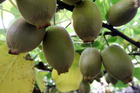 The new gold kiwifruit variety is flourishing - again - this season. Photo / File
