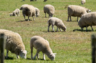With numbers down and grass aplenty, the demand for lambs is strengthening week by week.