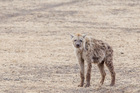 A hyena in Ngorongoro Crater, Tanzania. Photo / Lucy Piper