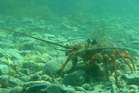 Thirty-one lobster were taken from the marine reserve in Gisborne. Photo / Department of Conservation