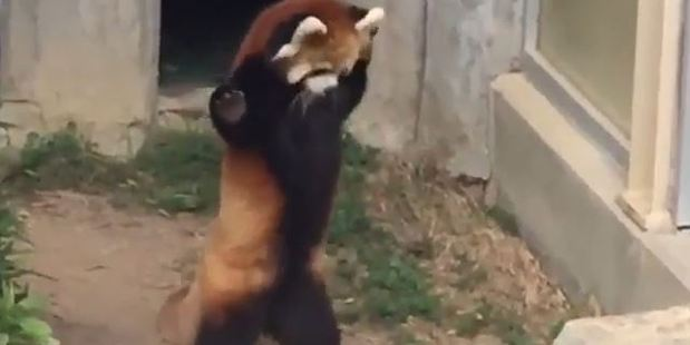 Loading An adorable red panda tries to intimidate a rock.