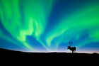 A caribou bull silhouetted against the northern lights, Barrenlands, Central NWT, Arctic Canada. Photo / Getty Images