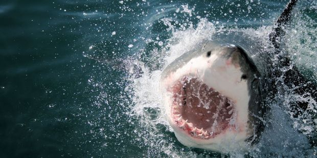 New Zealanders shouldn't be scared of shark attacks says Malcom Francis, Principal Scientist for the National Institute of Water and Atmosphere Research (NIWA). Photo / 123rf.com