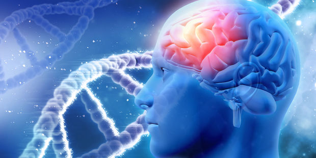 The researchers think the cord blood repairs the hippocampus, a part of the brain which in both mice and humans is critical for converting experiences into long-term memories. Photo / 123RF