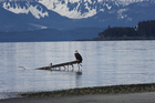 A bald eagle rests on a perch at Eagle Beach State Recreation Area, Juneau, Alaska. US jets intercepted two Russian bombers off the coast of Alaska. Photo / AP